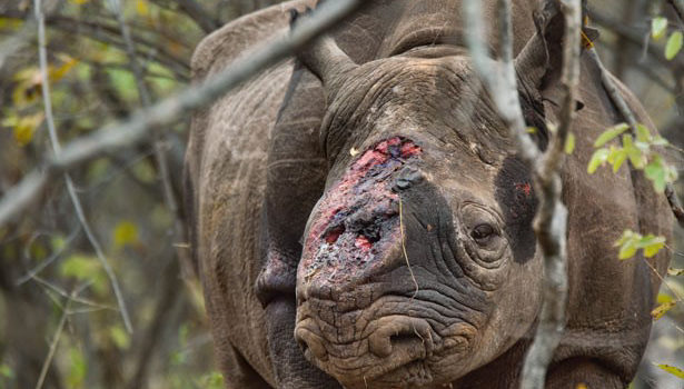 Groundbreaking disruptive technology to save rhino