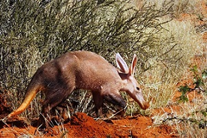 Aardvarks' tragic fate points to worrying consequences due to climate change