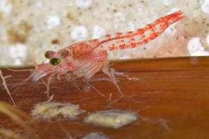 New shrimp species has unique association with octopus