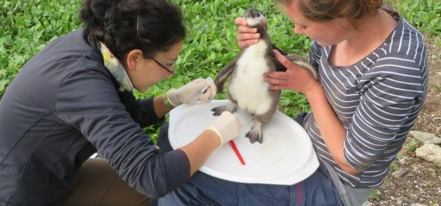 Researcher looks at ticks, fleas that bug African penguins