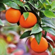 Citrus, grape by-products could be used to preserve food