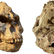 """Little Foot"" skull reveals how this human ancestor lived"