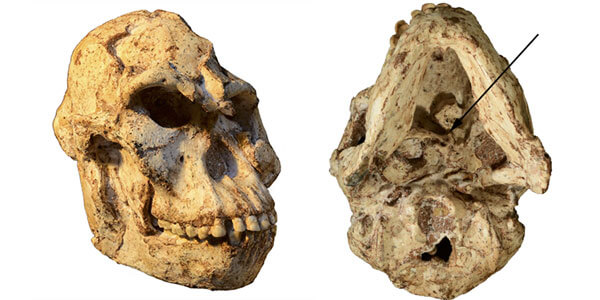 """""""Little Foot"""" skull reveals how this human ancestor lived"""