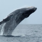 Research dives deep to understand climate impacts on whales