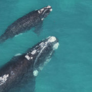 UP Whale Unit to gather data on dwindling southern right whale populations