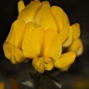 Polhilia – revision of lesser known Cape plant genus ensures conservation