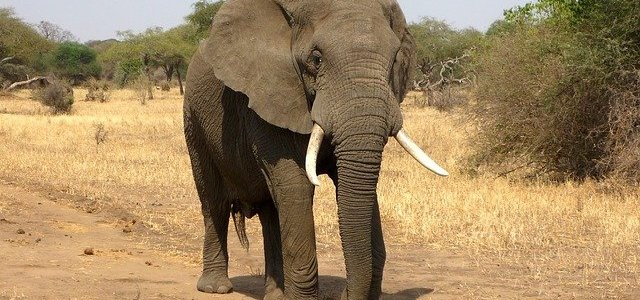 African Elephant Management in Research Spotlight
