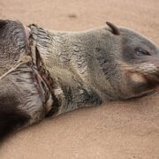 Hundreds of Cape Fur seals are entangled each year – mainly in fishing lines and nets